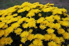 Chrysanthemums. Autumn flowers.  Little yellow chrysanthemums Royalty Free Stock Photo