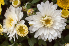 Chrysanthemums awaken Stock Images