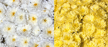 Chrysanthemums background Stock Photography