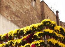 Chrysanthemums Royalty Free Stock Photo