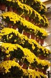 Chrysanthemums Stock Photography