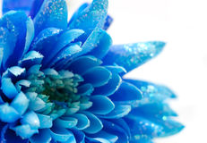 Chrysanthemums bleus, fond naturel Photographie stock