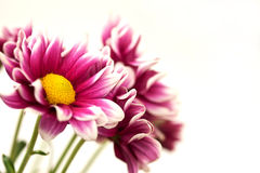 chrysanthemums blommar pink Royaltyfri Bild