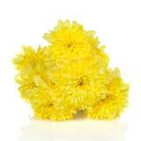 chrysanthemums blommar yellow Royaltyfri Bild