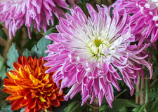 Chrysanthemums blooming Stock Photography