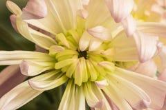 Chrysanthemums blooming Royalty Free Stock Image