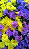 Chrysanthemums stock photos