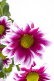 Chrysanthemums in a bouquet. Stock Images