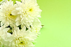 Chrysanthemums Stock Photo