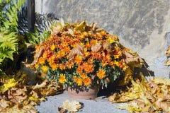 Chrysanthemums bouquet Stock Photo