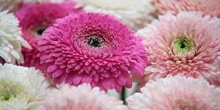 Chrysanthemums. Bouquet of white and pink chrysanthemums Royalty Free Stock Images