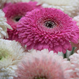 Chrysanthemums. Bouquet of white and pink chrysanthemums Royalty Free Stock Photography