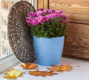 Chrysanthemums bush in a pot on the balcony in the fall Royalty Free Stock Images