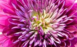 Chrysanthemums, chrysanths macro Royalty Free Stock Photo