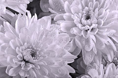 Chrysanthemums close up Royalty Free Stock Photos