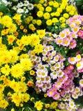 Chrysanthemums close up Stock Photos