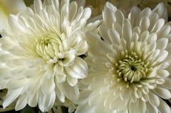 Chrysanthemums. This is a close up shot Chrysanthemum blooms Royalty Free Stock Image