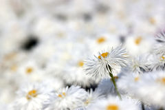 Chrysanthemums - RAW format Royalty Free Stock Photos
