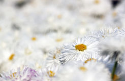Chrysanthemums - RAW format Stock Image