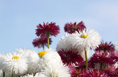 Chrysanthemums - RAW format Stock Photos