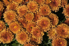 Chrysanthemums. A cluster  of chrysanthemums in public garden in new England Royalty Free Stock Images