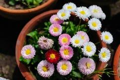 Chrysanthemums Royalty Free Stock Images