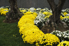 Chrysanthemums and  Daisies in A Park Royalty Free Stock Photography