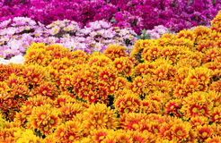 Chrysanthemums daisy flower fields blooming Stock Images