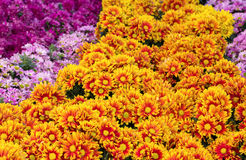Chrysanthemums daisy flower fields blooming Royalty Free Stock Photo