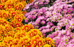 Chrysanthemums daisy flower fields blooming Royalty Free Stock Images