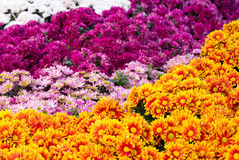Chrysanthemums daisy flower fields blooming Stock Photos