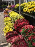 Chrysanthemums on display outdoor flower shop. Moms in a variety of bright colors including yellow red and pink, on a store display outside, ready for a customer Stock Photography