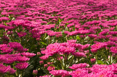 Chrysanthemums in a Dutch flower nursery Royalty Free Stock Image