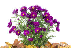 Chrysanthemums among the fallen autumn leaves Royalty Free Stock Photo