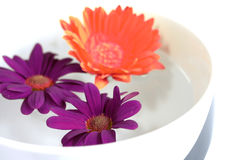 Chrysanthemums floating in a bowl of water Royalty Free Stock Photography