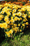 Chrysanthemums flower Royalty Free Stock Photography