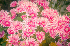 Chrysanthemums for flower background. Vintage filter effects Stock Photography
