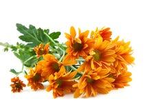 Chrysanthemums flower, goldon daisy Royalty Free Stock Photography