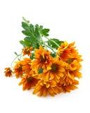 Chrysanthemums flower, goldon daisy Royalty Free Stock Images