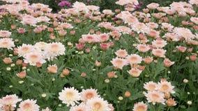 Chrysanthemums flower, sometimes called mums or chrysanths