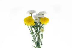 Chrysanthemums flower. Yellow and white Chrysanthemum in backgroud white stock image