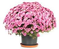 Chrysanthemums in flowerpot. A pot of beautiful pink autumn chrysanthemums isolated on white background Stock Images