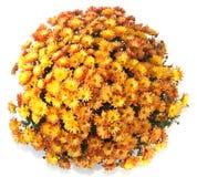 Chrysanthemums in flowerpot Stock Image