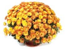 Chrysanthemums in flowerpot Royalty Free Stock Images