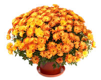 Chrysanthemums in flowerpot. A pot of beautiful orange autumn chrysanthemums isolated on white background Stock Image