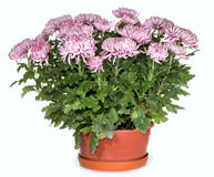 Chrysanthemums in flowerpot Royalty Free Stock Photos