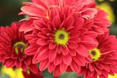 Chrysanthemums flowers Royalty Free Stock Photo