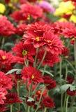Chrysanthemums flowers Stock Photos