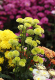 Chrysanthemums flowers Stock Photography