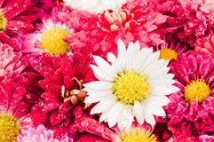 Chrysanthemums flowers background. Chrysanthemums flowers after the rain Stock Photography